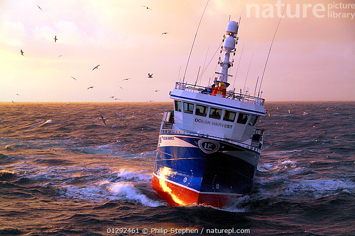 """Fishing vessel """"Ocean Harvest"""" on the North Sea, May 2010. Property released.  ,  BIRDS,CATALOGUE2,CHOPPY,fishing boat,fishing industry,FISHING BOATS,flock of birds,FRONT VIEWS,GULLS,HEELING,horizon,horizon over water,keeling,Nobody,North Sea,on the move,outdoors,sea,SUNSET,transportation,TRAWLERS,WATER,BOATS,WORKING-BOATS  ,  Philip Stephen"""