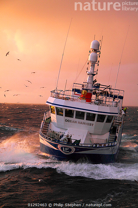 """Fishing vessel """"Ocean Harvest"""" on the North Sea, May 2010. Property released.  ,  BIRDS,CATALOGUE2,CHOPPY,fishing boat,fishing industry,FISHING BOATS,flock of birds,FRONT VIEWS,GULLS,HEAVY SEAS,HEELING,horizon,horizon over water,Nobody,North Sea,on the move,outdoors,sea,sea spray,SUNSET,transportation,TRAWLERS,BOATS,WORKING-BOATS  ,  Philip Stephen"""