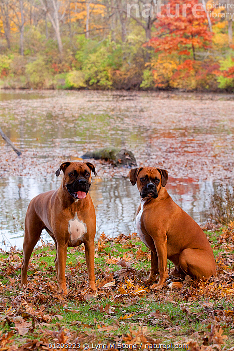 HeaPair of male Boxers fawn coloured with natural ears, sitting by lake in Autumn,  Illinois, USA, AUTUMN,Boxer Dog,BROWN,CATALOGUE2,DOGS,domestic animal,EARS,fallen leaves,fawn colour,Illinois,Lake,lakeside,large dogs,male animal,MALES,nature,Nobody,outdoors,PETS,PORTRAITS,Riverbank,two animals,USA,VERTEBRATES,VERTICAL,working dogs,North America,Canids, Lynn M Stone