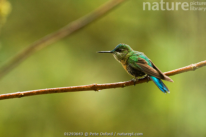 Long-tailed Sylph (Aglaiocercus kingi) female perched on branch. Cloud forest, Tapichalaca Reserve, Southern Ecuador, South America  ,  BIRDS,HUMMINGBIRDS,FEMALES,RESERVE,SOUTH AMERICA,TROPICAL RAINFOREST,VERTEBRATES  ,  Pete Oxford