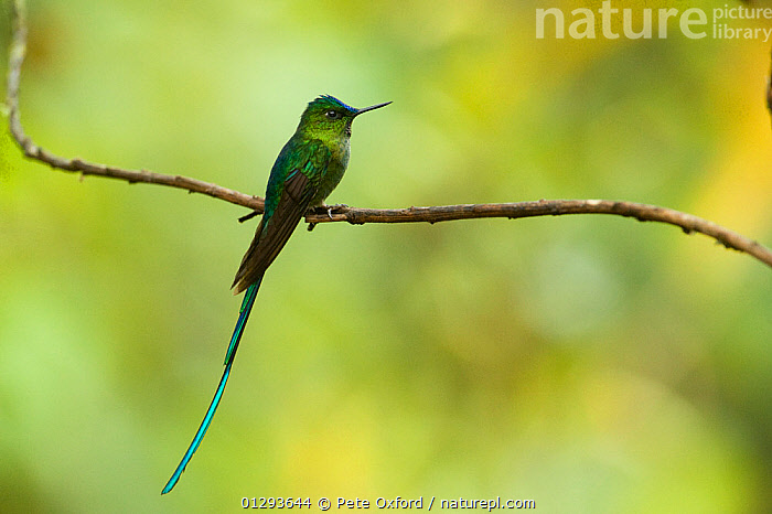 Long-tailed Sylph (Aglaiocercus kingi) male perched on branch. Cloud forest, Tapichalaca Reserve, Southern Ecuador, South America  ,  BIRDS,HUMMINGBIRDS,MALES,RESERVE,SOUTH AMERICA,TROPICAL RAINFOREST,VERTEBRATES  ,  Pete Oxford
