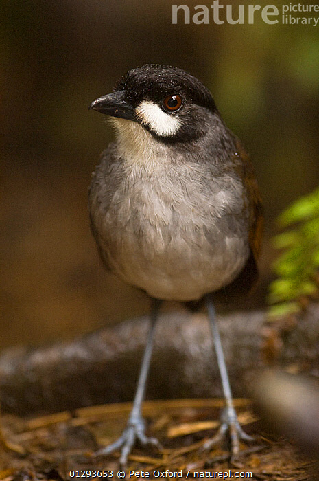 Jocotoco antpitta (Grallaria ridgelyi) in lower temperate forest, Zamora-Chinchipe, South Ecuador, South America. Discovered in October 2000, endangered.  ,  ENDANGERED,FORMICARIIDAE,SOUTH AMERICA,VERTEBRATES,ANTPITTAS,BIRDS,FORESTS,PORTRAITS,TEMPERATE,VERTICAL  ,  Pete Oxford