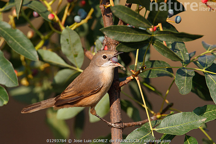 Subalpine warbler (Sylvia cantillans) feeding on fruit of Terebinth tree (Pistacia terebinthus) during the autumn migration. Ciudad Real. Spain, BERRIES,BIRDS,EUROPE,SPAIN,DRUPES,FEEDING,VERTEBRATES,WARBLERS, Jose Luis GOMEZ de FRANCISCO