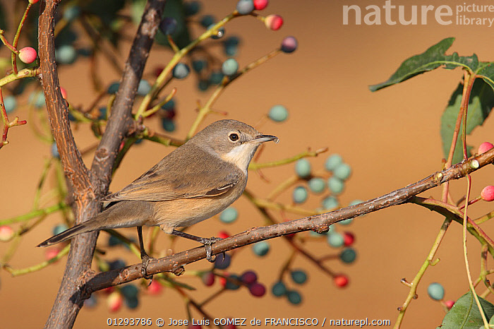 Subalpine warbler (Sylvia cantillans) feeding on fruit of Terebinth tree (Pistacia terebinthus) during the autumn migration. Ciudad Real. Spain, BERRIES,BIRDS,EUROPE,SPAIN,FEEDING,VERTEBRATES,WARBLERS, Jose Luis GOMEZ de FRANCISCO