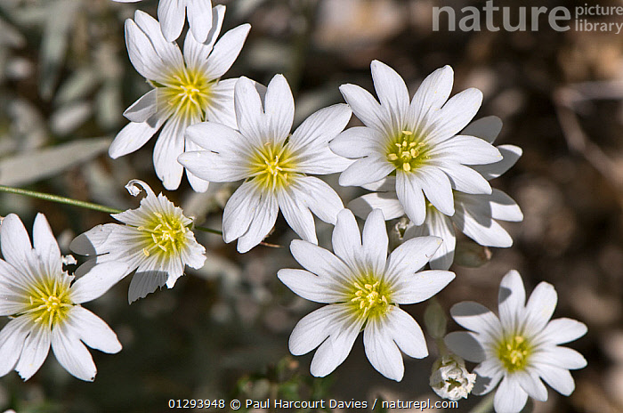Snow in summer / Mouse ear (Cerastium tomentosum) flowering, Mt Terminillo, Apennines, Lazio, Italy, grows at altitudes up to 2250m  ,  EUROPE,ITALY,PLANTS,ALPINE,CARYOPHYLLACEAE,DICOTYLEDONS,FLOWERS,LIMESTONE,Apennines,Appennines,  ,  Paul Harcourt Davies