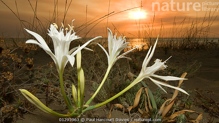 Sea daffodil / lily (Pancratium maritimum) flowers open in late afternoon and remain open overnight, coinciding with the flight times of the Convolvulus hawkmoth (Herse convolvuli) its pollinator, Umbria, Italy  ,  afternoon,BEACHES,CATALOGUE2,close up,CLOSE UPS,EUROPE,Evening,flower,FLOWERS,ITALY,LILIACEAE,MONOCOTYLEDONS,nature,Nobody,outdoors,PLANTS,POLLINATION,SUN,SUNSET,Umbria,WHITE,,Dispersal,  ,  Paul Harcourt Davies
