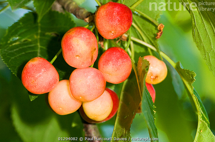 Wild Cherry (Prunus avium) fruit, the parent of all cultivated cherries widespread in Europe and used locally for production of liquers, Italy  ,  DICOTYLEDONS,ROSACEAE,BERRIES,EDIBLE,EUROPE,FRUIT,GROUPS,ITALY,PLANTS,RED  ,  Paul Harcourt Davies