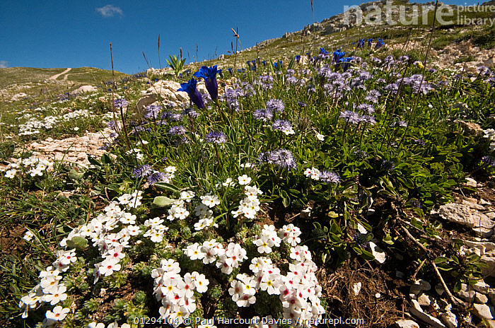 Alpine flowers in the Simbruini Mts NP, Apennines, Italy (Androsace villosa) white, (Gentiana dinarica) blue, and (Globularia alpina) purple.  ,  EUROPE,ITALY,ALPINE,FLOWERS,HABITAT,LANDSCAPES,MIXED SPECIES,MOUNTAINS,NP,RESERVE,National Park,Apennines,Appennines,  ,  Paul Harcourt Davies
