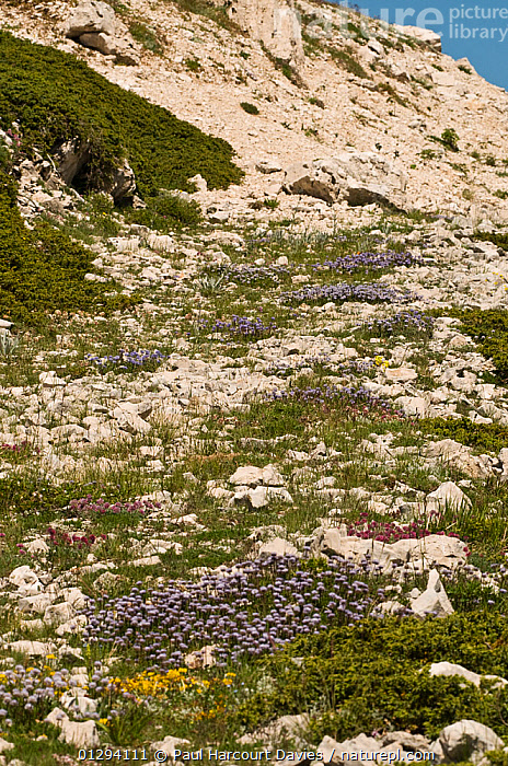 Alpine flowers on limestone scree (Globularia sp, Anthyllis sp, and Juniper sp) Simbruini National Park, limestone mountains in the Appenines, Italy  ,  EUROPE,ITALY,SPRING,VERTICAL,ALPINE,FLOWERS,LANDSCAPES,MOUNTAINS,NP,RESERVE,National Park,Apennines,Appennines,  ,  Paul Harcourt Davies