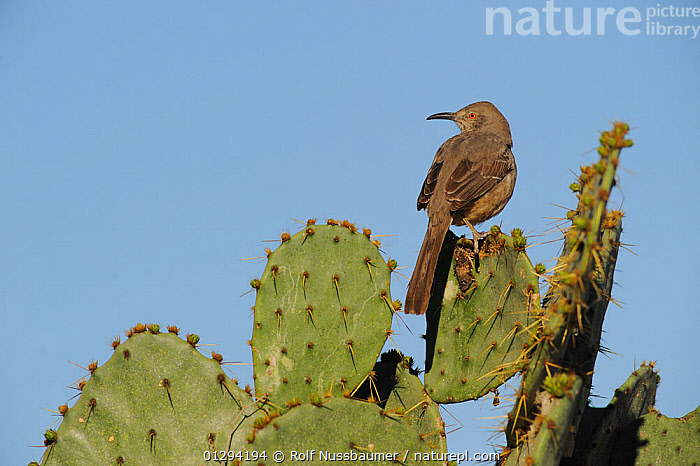 Curve-billed Thrasher (Toxostoma curvirostre) perched on Texas Prickly Pear Cactus (Opuntia lindheimeri) Dinero, Lake Corpus Christi, South Texas, USA  ,  CACTACEAE,DESERTS,NORTH AMERICA,THRASHERS,VERTEBRATES,BIRDS,USA  ,  Rolf Nussbaumer