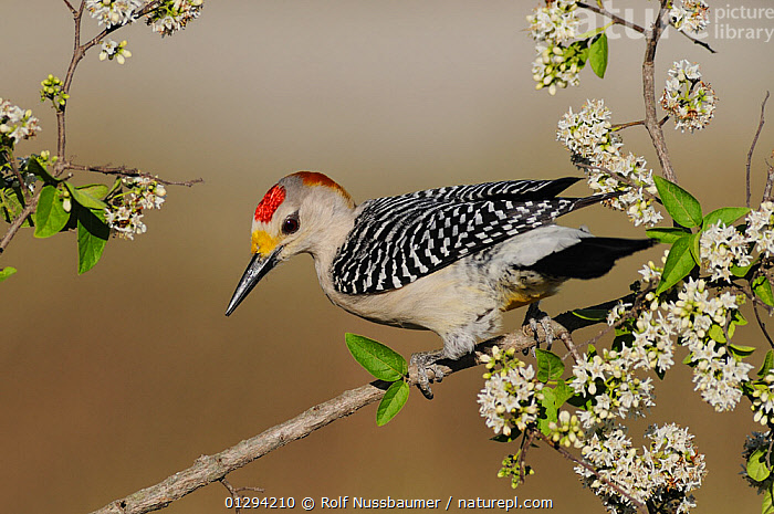 Golden-fronted Woodpecker (Melanerpes aurifrons) male, perched on branch with blossom, Sinton, Corpus Christi, Coastal Bend, Texas Coast, USA, FLOWERS,MALES,NORTH AMERICA,VERTEBRATES,WOODPECKERS,BIRDS,SPRING,USA, Rolf Nussbaumer