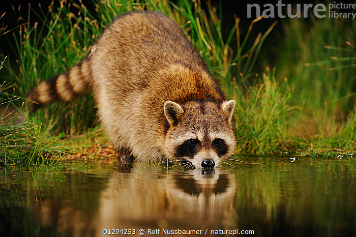 RF- Northern Raccoon (Procyon lotor) drinking from wetland lake. Fennessey Ranch, Refugio, Coastal Bend, Texas Coast, USA. (This image may be licensed either as rights managed or royalty free.), BEHAVIOUR,CARNIVORES,DRINKING,FRESHWATER,LAKES,MAMMALS,NORTH-AMERICA,PORTRAITS,RACCOONS,REFLECTIONS,USA,VERTEBRATES RF16Q4,PROCYON LOTOR,Animal,Vertebrate,Mammal,Carnivore,Racoon,Raccoon,American,Animalia,Animal,Wildlife,Vertebrate,Mammalia,Mammal,Carnivora,Carnivore,Procyonidae,Procyon,Racoon,Procyon lotor,Raccoon,Northern Racoon,Ursus lotor,Nobody,North America,USA,Southern USA,Texas,Close Up,Front View,Hair,Fur,Reflection,Nature,Wild,Freshwater,Wetland,Lake,Water,Drinking,Lakeside,American,Animal Hair,Head Down,United States of America,RF,Royalty free,RFCAT1,RF16Q4,, Rolf Nussbaumer