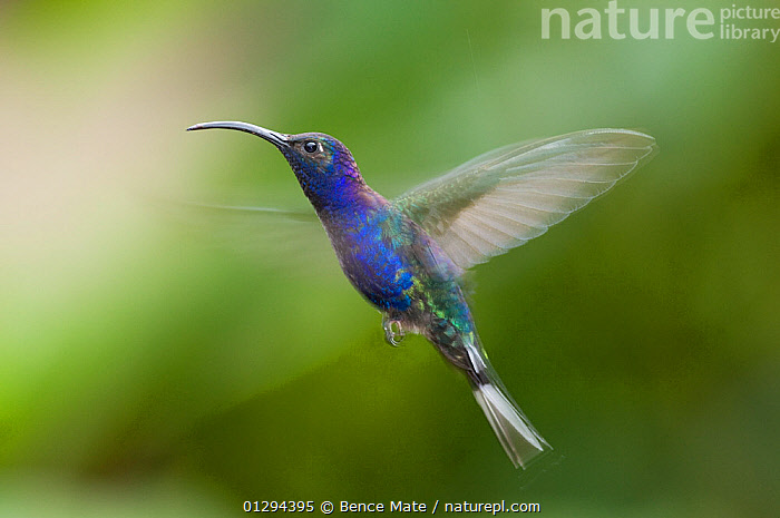 Violet sabrewing (Campylopterus hemileucurus) hovering in flight, Costa Rica  ,  BIRDS,CENTRAL AMERICA,FLYING,HUMMINGBIRDS,TROPICAL RAINFOREST,VERTEBRATES  ,  Bence Mate