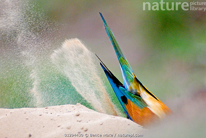 European bee-eater (Merops apiaster) view of tail feathers as it digs in sand, Pusztaszer, Kiskunsagi National Park, Hungary, BEE EATERS,BEHAVIOUR,BIRDS,DIGGING,EUROPE,HUNGARY,NP,TAILS,VERTEBRATES,National Park, Bence Mate