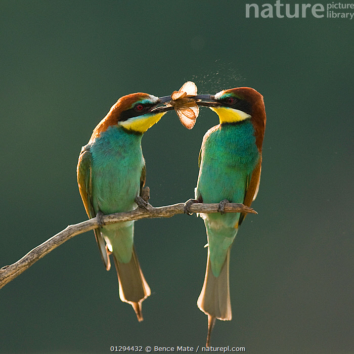 Pair of European bee-eaters (Merops apiaster) with courtship offering of insect prey,  Pusztaszer, Kiskunsagi National Park, Hungary, affection,beaks,BEE EATERS,BEHAVIOUR,BIRDS,CATALOGUE2N,close up,CLOSE UPS,COURTSHIP,EUROPE,face to face,FEEDING,front view,full length,GREEN,green colour,holding in beak,HUNGARY,INSECTS,inset,Kiskunsagi National Park,MALE FEMALE PAIR,mating behaviour,MATING BEHAVIOUR,nature,Nobody,NP,offering,outdoors,Pair,Perching,prey,PUSZTASZER,romance,sharing,social behaviour,SOCIAL BEHAVIOUR,twig,two animals,VERTEBRATES,Invertebrates,National Park, Bence Mate