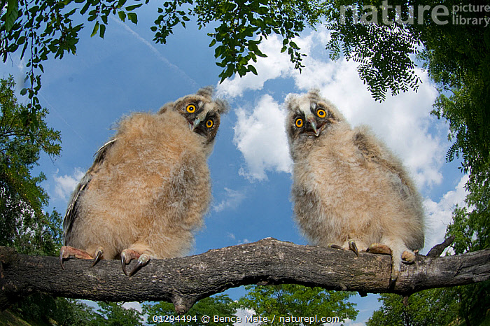 Two Long eared owl chicks (Asio otus) perching on tree branch in daylight,  Pusztaszer, Kiskunsagi National Park, Hungary  ,  BABIES,BIRDS,BIRDS OF PREY,CHICKS,EUROPE,HUNGARY,HUMOROUS,NP,OWLS,VERTEBRATES,National Park,Raptor,Concepts  ,  Bence Mate