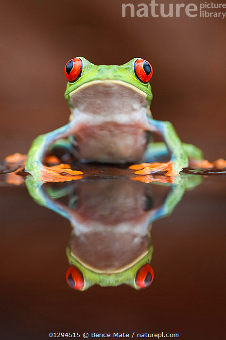 Head portrait of Red-eyed tree frog (Agalychnis callidryas) at waters edge, with reflection, Santa Rita, Costa Rica, AMPHIBIANS,ANURA,CENTRAL AMERICA,EYES,FROGS,PORTRAITS,REFLECTIONS,TREE FROGS,TROPICAL RAINFOREST,VERTEBRATES,VERTICAL,WATER, Bence Mate