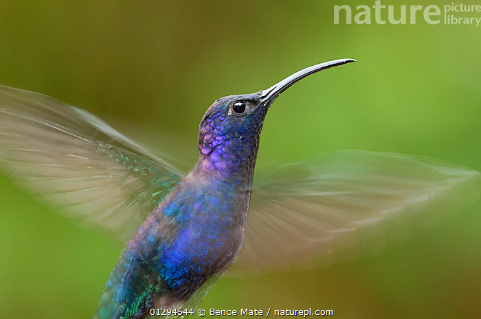 Portrait of Violet sabrewing (Campylopterus hemileucurus) in flight, Costa Rica  ,  BIRDS,CENTRAL AMERICA,FLYING,HUMMINGBIRDS,PORTRAITS,PROFILE,TROPICAL RAINFOREST,VERTEBRATES  ,  Bence Mate