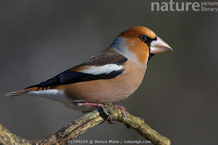 Portrait of male Hawfinch (Coccothraustes coccothraustes) perching on branch, Pusztaszer, Kiskunsagi National Park, Hungary  ,  BIRDS,EUROPE,FINCHES,HUNGARY,MALES,NP,PORTRAITS,PROFILE,VERTEBRATES,National Park  ,  Bence Mate