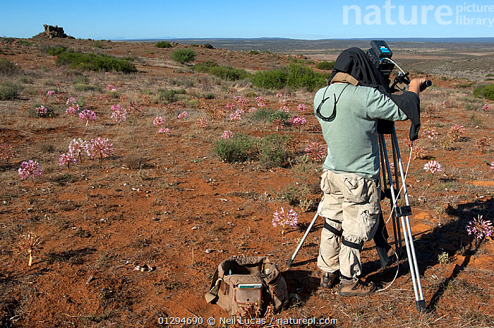 Cameraman Mark Yates filming Candelabra lily (Brunsvigia bosmaniae) for BBC Life series Namaqualand, South Africa, March 2008, AFRICA,AMARYLLIDACEAE,CAUCASIAN,DESERTS,FILMING,FILMING IN WILD,FLOWERS,MAN,MONOCOTYLEDONS,OUTDOORS,PEOPLE,PLANTS,SOUTH AFRICA, Neil Lucas