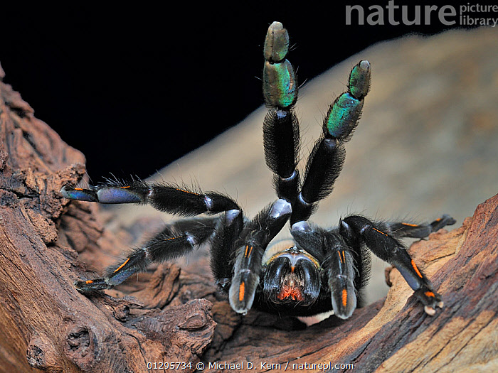 Venezuelan suntiger / Devil tree spider (Psalmopoeus irminia) female, captive, from South America  ,  ARACHNIDS,ARTHROPODS,FEMALES,HAIRY,INVERTEBRATES,LEGS,SOUTH AMERICA,SPIDERS,TARANTULAS,VENOMOUS  ,  Michael D. Kern
