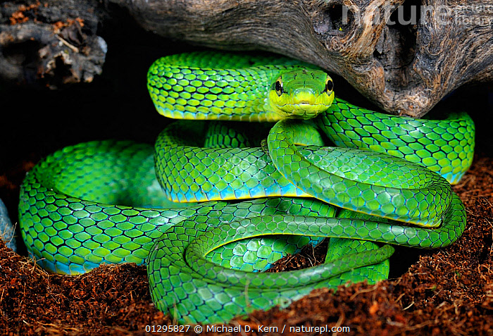 Nature Picture Library - Rein / Green trinket snake (Elaphe