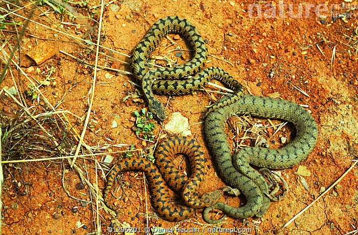 Three Asp vipers (Vipera aspis) on red earth, each a different colour morph. France, Europe. Controlled conditions.  ,  COLOUR,COLOURFUL,COLOURS,EUROPE,FRANCE,MORPHISM,PATTERNS,REPTILES,SNAKES,SUB SPECIES,THREE,VARIATION,VENOMOUS,VERTEBRATES,VIPERS  ,  Daniel Heuclin