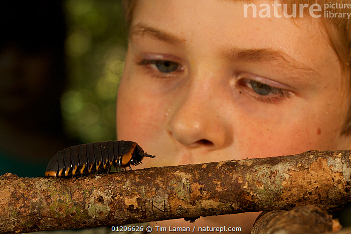 Close up of young boy aged 9 (model released) watching a Giant Pill millipede (Sphaerotherium) Borneo, July 2007, ARTHROPODS,BOY,CAUCASIAN,CHILDREN,DIPLOPODA,INVERTEBRATES,MILLIPEDES,MYRIAPODS,NATURE CHILDREN,OUTDOORS,PEOPLE,PORTRAITS,SCHOOL AGED,SOUTH EAST ASIA,TROPICAL RAINFOREST, Tim Laman
