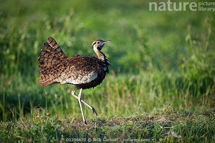 Black-bellied Bustard (Lissotis melanogaster) male displaying, early morning in the Ngorongoro Crater. Ngorongoro Conservation Area, Tanzania. March.  ,  BIRDS, BUSTARDS, DISPLAY, EAST-AFRICA, MALES, RESERVE, tanzania, VERTEBRATES,Communication,Africa  ,  Nick Garbutt