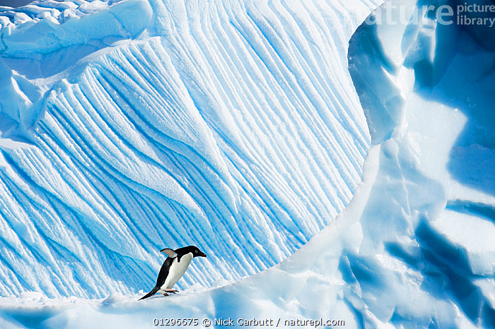 RF- Adelie Penguin (Pygoscelis adeliae) on iceberg. Yalour Islands, Antarctic Peninsula, Antarctica. February. (This image may be licensed either as rights managed or royalty free.)  ,  ANTARCTICA,BIRDS,BLUE,FLIGHTLESS,formations,ICE,iceberg,LANDSCAPES,PATTERNS,PENGUINS,SEABIRDS,VERTEBRATES,PYGOSCELIS ADELIAE,Animal,Vertebrate,Bird,Birds,Penguin,Adelie penguin,Animalia,Animal,Wildlife,Vertebrate,Aves,Bird,Birds,Sphenisciformes,Penguin,Seabird,Spheniscidae,Pygoscelis,Pygoscelis adeliae,Adelie penguin,Walking,Balance,Courage,Brave,Bravery,Daring,Journey,Risky,Alone,Scale,Proportion,Solitude,Solitary,Nobody,Steep,Edge,Temperature,Cold,Antarctica,Antarctic,Polar,Ice,Iceberg,Icebergs,Snow,Outdoors,Day,Nature,Wild,Insignificant,Sea ice,Solo,RF,Royalty free,RFCAT1,RF17Q1,Yalour Islands,Marine bird,Marine birds,Pelagic bird,Pelagic birds,Flightless  ,  Nick Garbutt