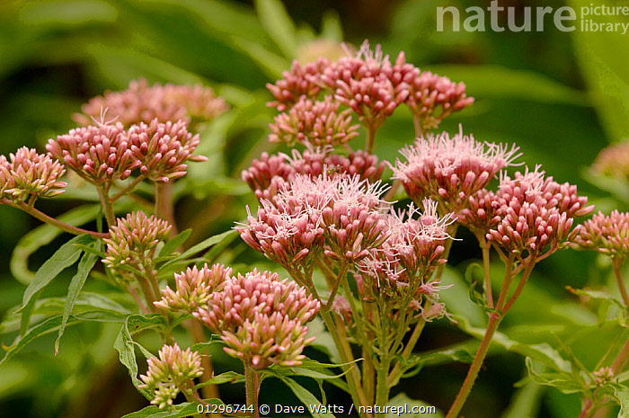 Hemp agrimony (Eupatorium cannabinum) in flower, UK, ASTERACEAE,COMPOSITAE,DICOTYLEDONS,EUROPE,FLOWERS,PLANTS,UK,United Kingdom, Dave Watts