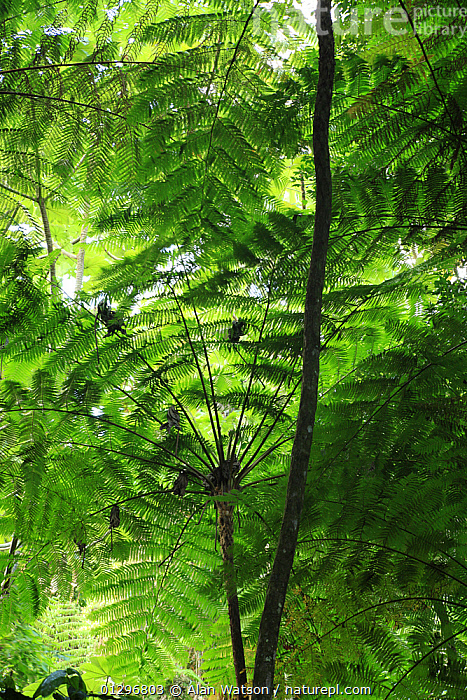 Frond pattern of tree ferns (Cyathea arborea) in lowland tropical rainforest at 420 metres, Loma Quita Espuela Scientific Reserve, Dominican Republic.  ,  beauty in nature,CARIBBEAN,CATALOGUE2,CYATHEACEAE,dominican republic,FERNS,fronds,GREEN,green colour,GROWTH,HABITAT,leaf canopy,LEAVES,Loma Quita Espuela,low angle view,Lowland,lush,nature,Nobody,NP,outdoors,PLANTS,protection,PTERIDOPHYTES,rainforest,Scientific Reserve,shaded,tree fern,TREES,TROPICAL,TROPICAL RAINFOREST,underside,VERTICAL,WEST INDIES,wildlife reserve,Concepts,National Park  ,  Alan Watson