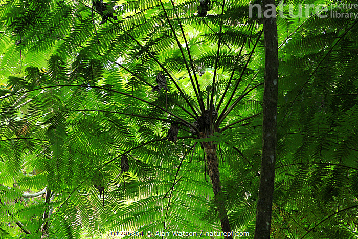 Frond pattern of tree ferns (Cyathea arborea) in lowland tropical rainforest at 420 metres, Loma Quita Espuela Scientific Reserve, Dominican Republic.  ,  CARIBBEAN,CATALOGUE2,close up,CLOSE UPS,CYATHEACEAE,dominican republic,FERNS,fronds,GREEN,green colour,GROWTH,HABITAT,leaf canopy,LEAVES,Loma Quita Espuela,Lowland,lush,natural pattern,nature,nature reserve,Nobody,NP,outdoors,PLANTS,protection,PTERIDOPHYTES,rainforest,Scientific Reserve,TREES,TROPICAL,TROPICAL RAINFOREST,underside,WEST INDIES,Concepts,National Park  ,  Alan Watson