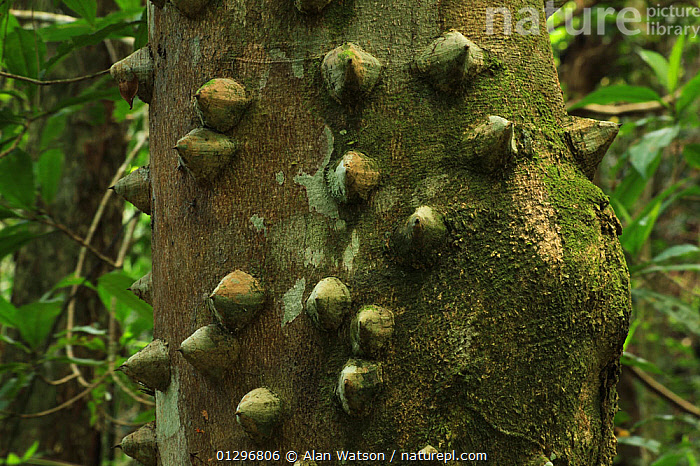 Spine-covered trunk of a White pricklyash tree  / Pino de teta tree (Zanthoxylum martinicense) in lowland tropical rainforest at 420 metres, Loma Quita Espuela Scientific Reserve, Dominican Republic, Caribbean, BARK,CARIBBEAN,CLOSE UPS,DICOTYLEDONS,NP,PLANTS,RUTACEAE,TREES,TROPICAL RAINFOREST,WEST INDIES,National Park, Alan Watson