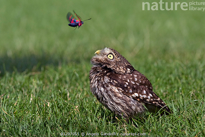 Little Owl (Athene noctua) standing on grass, observing a a Six-spot Burnet moth (Zygaena filipendulae) flying above. Tuscany, Italy  ,  animal marking,anxiety,anxious,BIRDS,BIRDS OF PREY,Burnet moth,CATALOGUE2,CLOSE UPS,CUTE,FLYING,Grass,HUMOROUS,humour,HUNTING,INTERACTION,ITALY,looking up,mixed species,MIXED SPECIES,nature,Nobody,outdoors,OWLS,playing,plumage,six spot ,SIX SPOT BURNET MOTH,STANDING,tuscany,two animals,VERTEBRATES,watching,WILDLIFE,Zygaena filipendulae,Plants,Concepts,Europe,Raptor  ,  Angelo Gandolfi