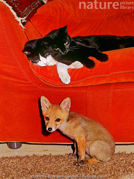 Red Fox (Vulpes vulpes) orphaned cub (called Rena) sitting in living room, alongside two domestic cats.  ,  BABIES,CANIDS,CARNIVORES,domestic cat,FOXES,INDOORS,JUVENILE,MAMMALS,MIXED SPECIES,PETS,play,playing,VERTEBRATES,VERTICAL,Communication,Dogs  ,  Angelo Gandolfi