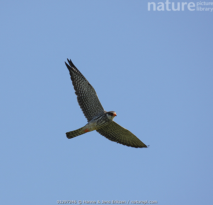 Eastern red footed / Amur falcon {Falco amurensis} male in first winter plumage in flight, Oman  ,  ARABIA,BIRDS,BIRDS OF PREY,CUTOUT,DESERTS,FALCONS,FLYING,JUVENILE,LOW ANGLE SHOT,MALES,MIDDLE EAST,SOARING,VERTEBRATES  ,  Hanne & Jens Eriksen