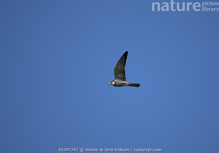 Eastern red footed / Amur falcon {Falco amurensis} male in first winter plumage in flight, Oman  ,  ARABIA,BIRDS,BIRDS OF PREY,CUTOUT,DESERTS,FALCONS,FLYING,JUVENILE,LOW ANGLE SHOT,MALES,MIDDLE EAST,VERTEBRATES  ,  Hanne & Jens Eriksen