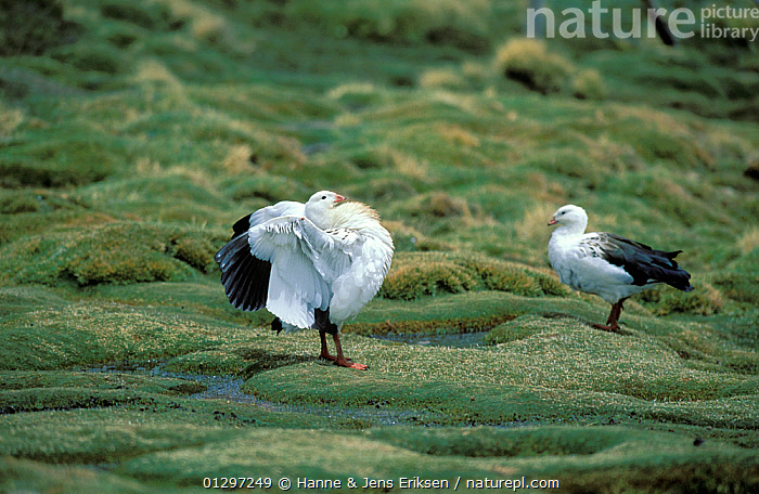 Andean goose {Chloephaga melanoptera} male displaying at lake side with adult goose in background, Chile, November  ,  ANATIDAE,ANDES,BEHAVIOUR,BIRDS,DISPLAY,GEESE,HIGHLANDS,MALES,SOUTH AMERICA,TWO,VERTEBRATES,Communication,Wildfowl,waterfowl  ,  Hanne & Jens Eriksen