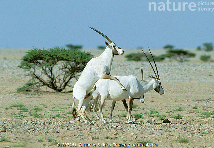 Arabian oryx {Oryx leucoryx} mating pair, Oman  ,  ARABIA,ARTIODACTYLA,COPULATION,DESERTS,ENDANGERED,GROUPS,LANDSCAPES,MALE FEMALE PAIR,MAMMALS,MATING BEHAVIOUR,MIDDLE EAST,ORYX,THREE,VERTEBRATES,Reproduction  ,  Hanne & Jens Eriksen