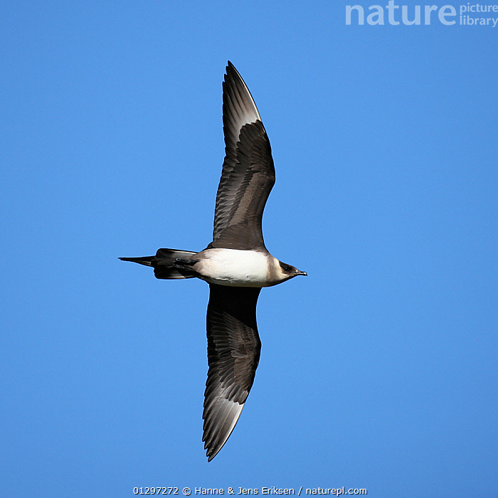 Arctic skua {Stercorarius parasiticus} light phase, in flight, Iceland, June  ,  BIRDS,CUTOUT,FLYING,LOW ANGLE SHOT,SEABIRDS,SKUAS,VERTEBRATES,VERTICAL,Europe  ,  Hanne & Jens Eriksen