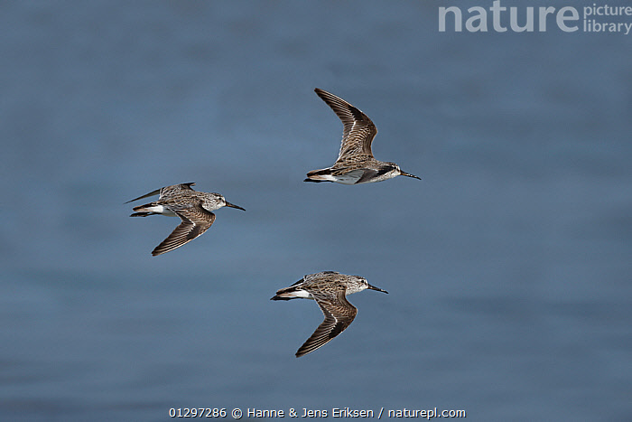 Broad-billed sandpiper {Limicola falcinellus} three in flight over water, Oman, January, digitally manipulated  ,  ARABIA,BIRDS,COASTS,DESERTS,FLOCKS,FLYING,GROUPS,MIDDLE EAST,SANDPIPERS,THREE,VERTEBRATES,WADERS  ,  Hanne & Jens Eriksen