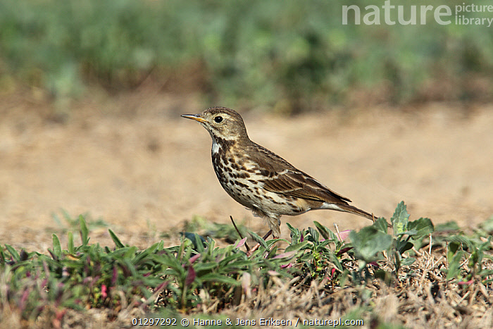 Buff bellied pipit {Anthus rubescens japonicus} in field, Oman, January  ,  ARABIA,BIRDS,MIDDLE EAST,PIPITS,VERTEBRATES  ,  Hanne & Jens Eriksen