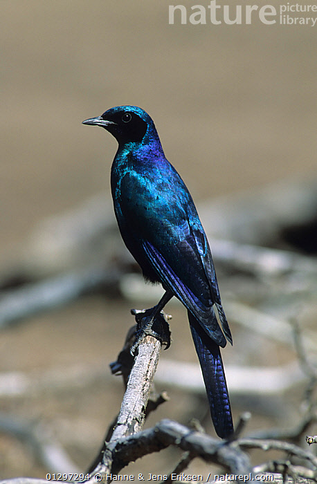Burchell's starling {Lamprotornis australis} perched,  South Africa, August  ,  BIRDS,BLUE,IRIDESCENT,SOUTH AFRICA,STARLINGS,VERTEBRATES,VERTICAL  ,  Hanne & Jens Eriksen