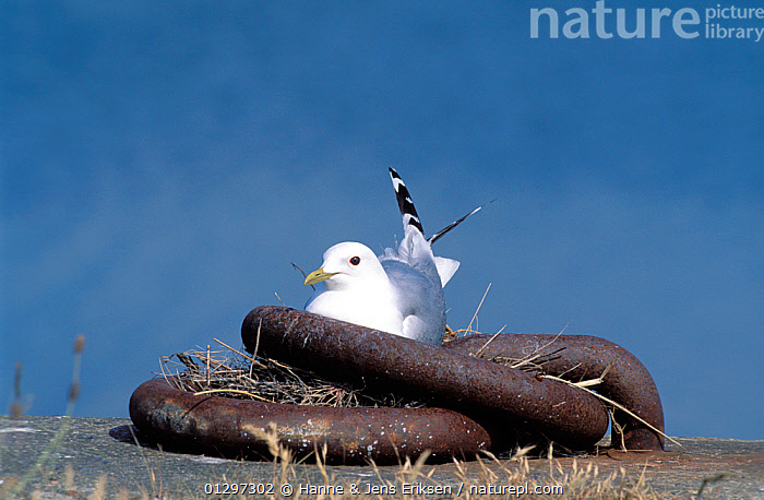 Common gull {Lanus canus} on nest in metal mooring hoops at harbour, Denmark, June  ,  BIRDS,COASTS,EUROPE,GULLS,HARBOURS,INTERESTING,NESTS,SCANDINAVIA,SEABIRDS,UNUSUAL,VERTEBRATES  ,  Hanne & Jens Eriksen