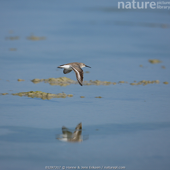 Dunlin {Calidris alpina} in flight over water, Oman, January  ,  ARABIA,BIRDS,DESERTS,MIDDLE EAST,REFLECTIONS,SANDPIPERS,VERTEBRATES,VERTICAL,WADERS  ,  Hanne & Jens Eriksen