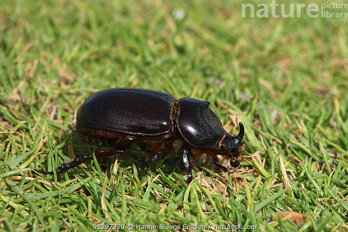 Elegant rhinoceros beetle {Oryctes elegans} on lawn, UAE, October  ,  ARABIA,BEETLES,COLEOPTERA,GARDENS,INSECTS,INVERTEBRATES,MIDDLE EAST,SCARABIDAE  ,  Hanne & Jens Eriksen