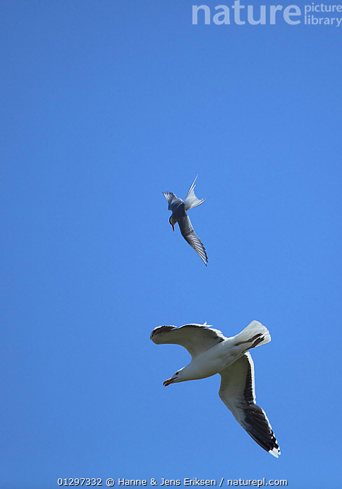 Greater black backed gull {Larus marinus} in flight, being chased by Arctic tern {Sterna paradisaea} Iceland, June  ,  BEHAVIOUR,BIRDS,EUROPE,GREAT BLACK BACKED GULL,GULLS,ICELAND,LOW ANGLE SHOT,MIXED SPECIES,MOBBING,SEABIRDS,TERNS,TWO,VERTEBRATES,VERTICAL  ,  Hanne & Jens Eriksen