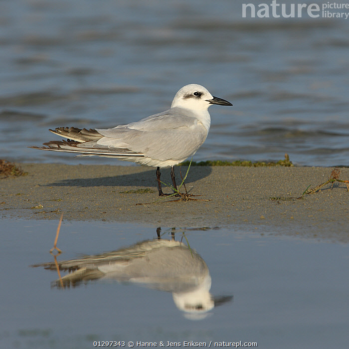 Gull billed tern {Gelochelidon nilotica} with mirror reflection in water, Oman, January  ,  ARABIA,BIRDS,COASTS,MIDDLE EAST,REFLECTIONS,SEABIRDS,TERNS,VERTEBRATES  ,  Hanne & Jens Eriksen