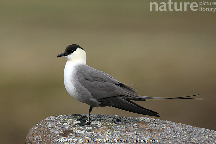 Long tailed skua {Stercorarius longicaudus} perched on rock, Iceland, June  ,  BIRDS,EUROPE,ICELAND,PROFILE,SEABIRDS,SKUAS,VERTEBRATES  ,  Hanne & Jens Eriksen